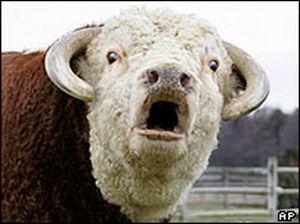 burping_cow